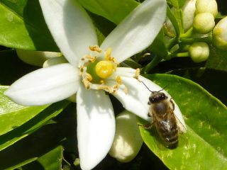 honeybee visiting citrus flower
