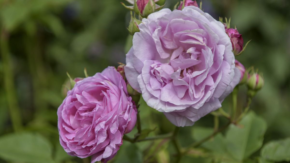 Monty Don shares his secret for getting more roses this summer