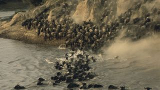 Wildebeests have large herd sizes, but they're not the largest animal group ever recorded.