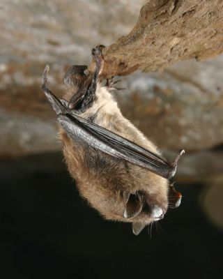 Little brown bat with white-nose syndrome. a study has shown that a fungus causes white-nose syndrome.