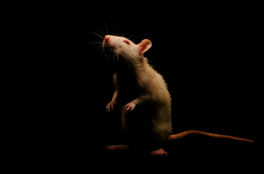 Scientists 'Erased' Rats' Memories to Help Them Kick Their