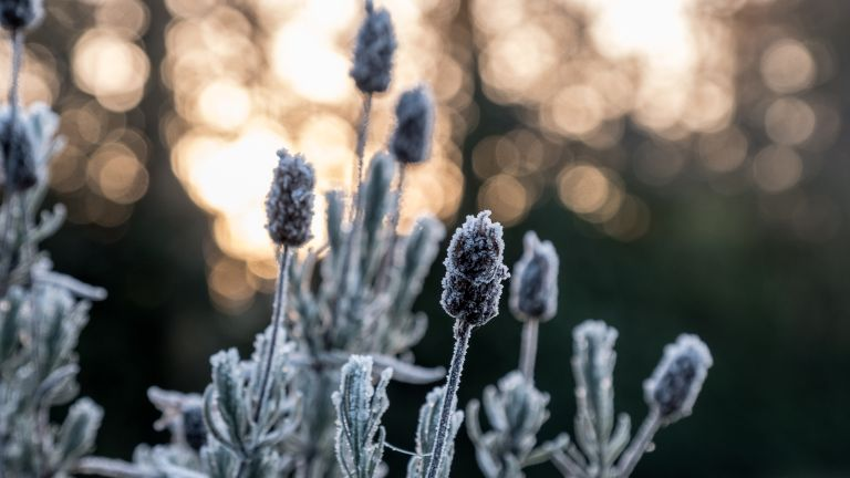 Close-up of dead lavender plant covered with frost in the garden