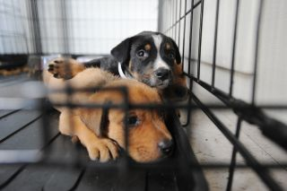 Dogs evacuated from Hurricane Ike-affected areas shelter at the Humane Society.
