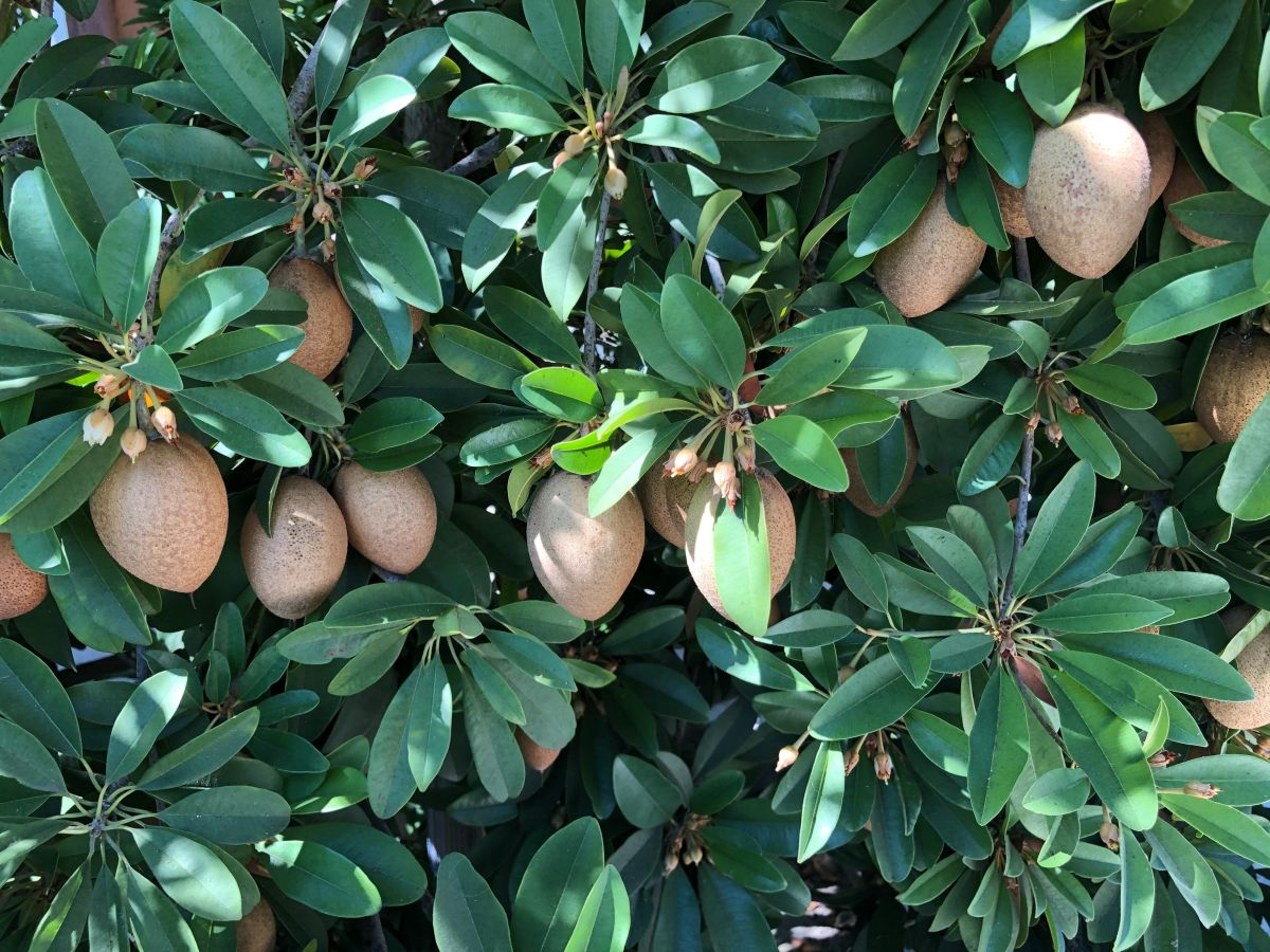 How to grow mangoes from seed