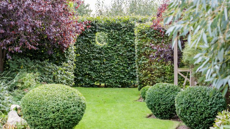 Narrow garden ideas with lawn and evergreen hedge