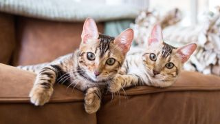 Two Bengal kittens sat on a couch, one of the top 10 most playful cat breeds