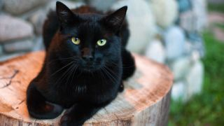 Usually associated with Halloween, these black cat facts reveal their fascinating history