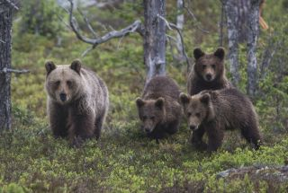 A female brown bear with her cubs