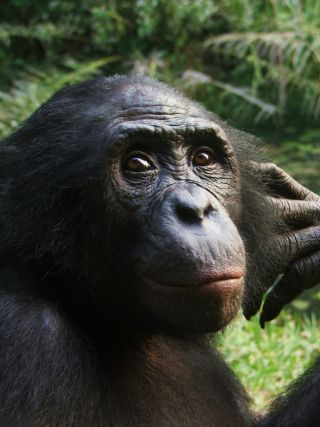 A bonobo in a sanctuary.
