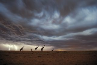 Giraffes with a storm in the background.