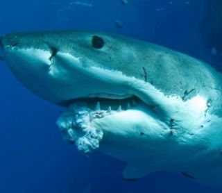 Sharks Do Get Cancer Tumor Found In Great White Live Science
