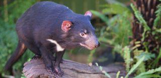 Tasmanian devil, facial tumor, transmissible cancer