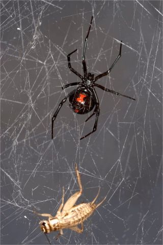 A black widow and cricket in a web.
