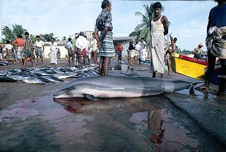 Fraser's dolphin in a fishing market in Sri Lanka