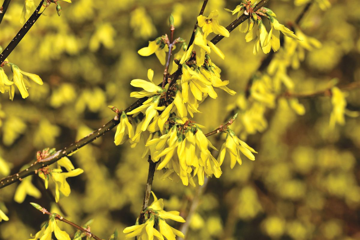 5 shrubs that will flower in early spring
