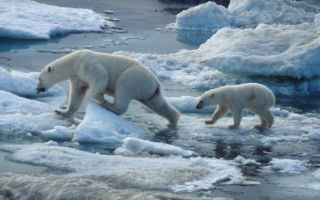 Polar bears are getting smaller because of climate change, and many other organisms will too, scientists say.