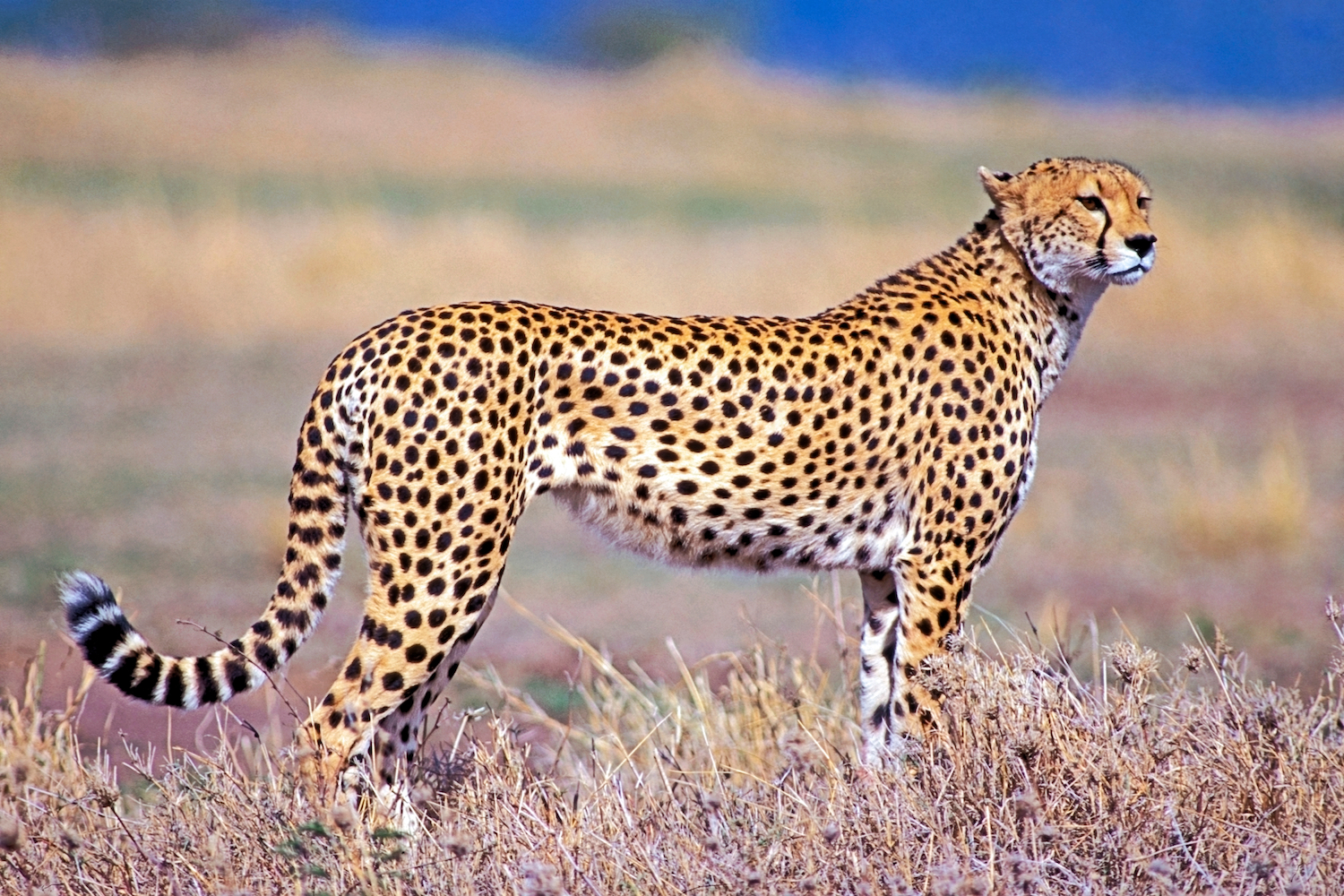 Cheetahs: The Fastest Land Animals | Live Science