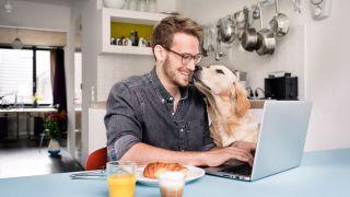 A labrador interrupting a video call