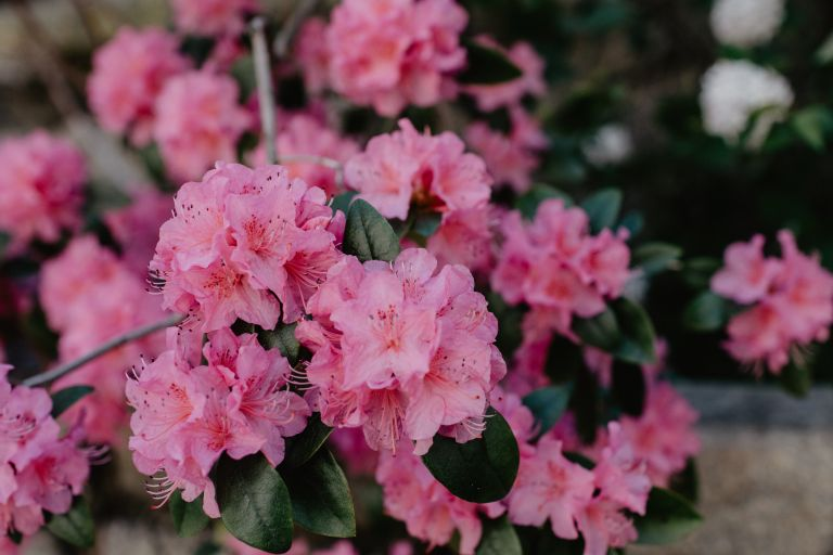 Shade loving plants: pink rhododendron