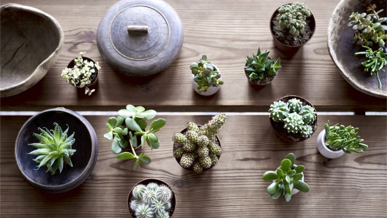 Plastic free July: a selection of cacti and succulents seen from a crows eye view on a coffee table