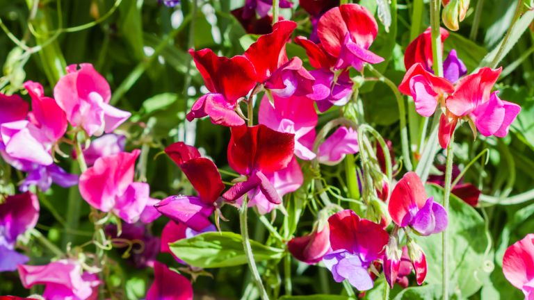 when to plant out sweet peas