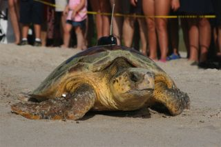 A loggerhead sea turtle with a tag. A new, less expensive technique can be used to track turtles just as accurately, according to a new study.