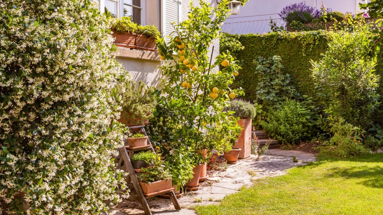 garden with jasmine and lemon tree and ladder display of pots