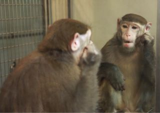 monkey and mirror