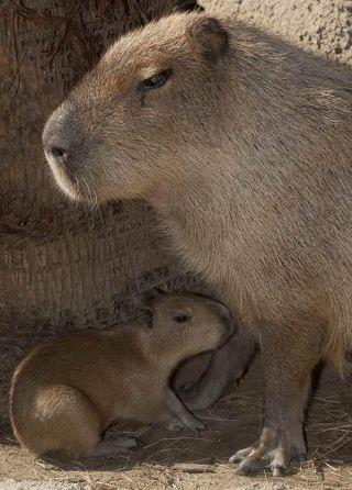 capybara-baby-110316-02