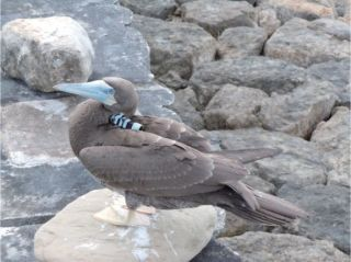 juvenile brown booby bird