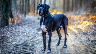 Great Dane facts: Great Dane standing outside on gravel track in forest