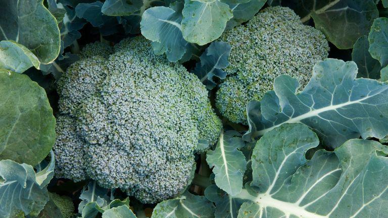 companion plants for broccoli - broccoli plants on a crown