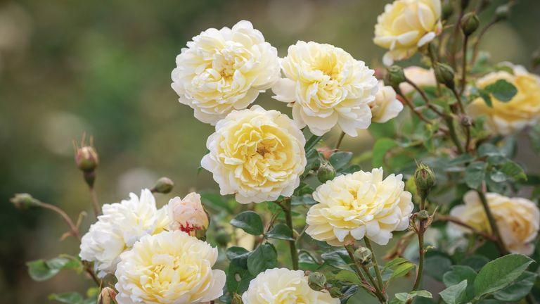 The Nye Bevan rose, David Austin
