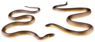 Two adult male Cerberus groundsnakes (Atractus Cerberus), newly discovered near the gates of the Refinería del Pacífico, a massive petrochemical complex that reminded the snake's discoverers of hell.