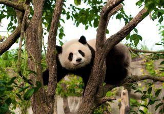 panda-superbugs