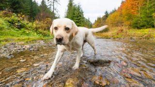 A labrador walking in a stream