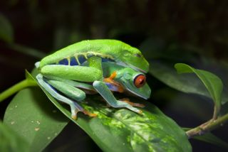 A pair of red-eyed tree frogs (<em>Agalychnis callidryas</em>) mating in the wild.