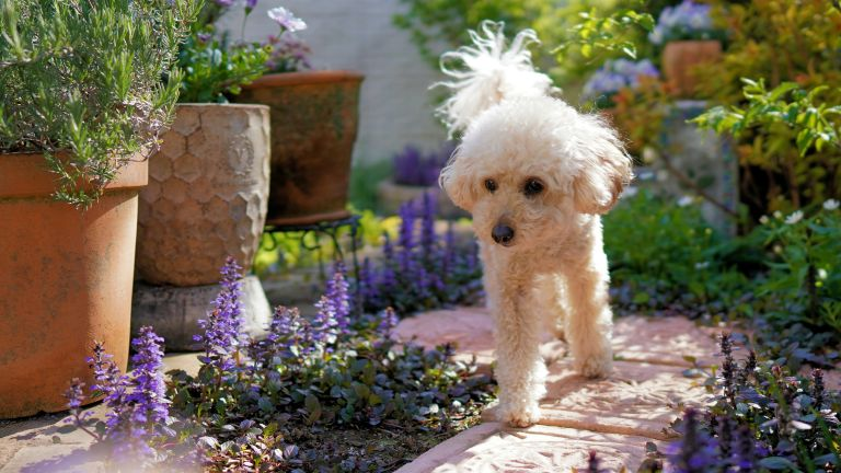 most poisonous plants for dogs: white dog in garden
