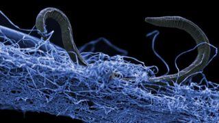 nematode deep underground