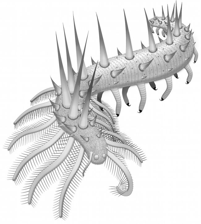 Illustration showing the many legs and spikes covering the early Cambrian creature, Collinsium ciliosum. Credit: Javier Ortega-Hernández
