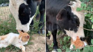 Cat and cow strike up an unlikely friendship
