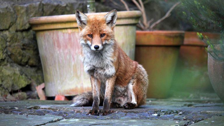 Urban fox (vulpes vulpes) in garden