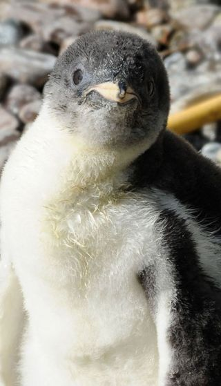 penguins, cute baby animals