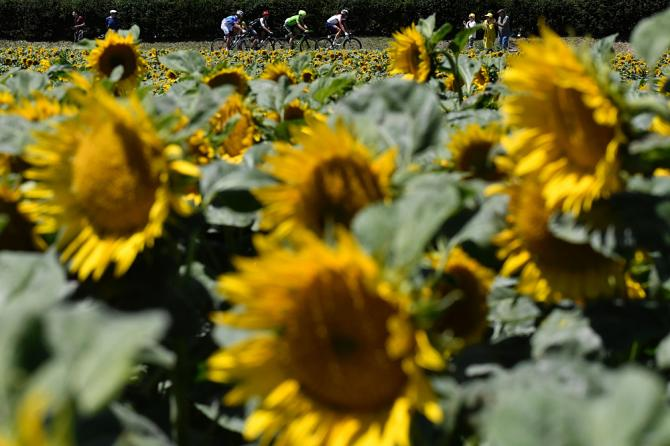 Tour de France known for beautiful sunflowers lining the route