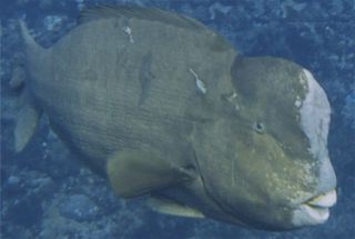 Bumphead parrotfish off Wake Atoll were found to have head-butting bouts on spawning grounds.