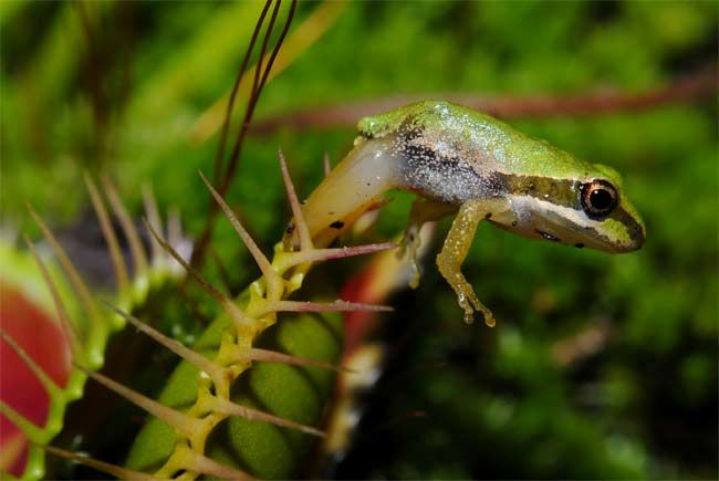Venus flytrap devouring a frog