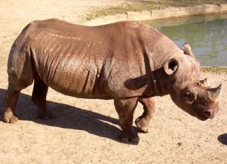 Jimma the black rhino is now a resident of the Windy City.
