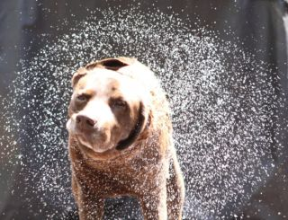 A dog shaking water off.