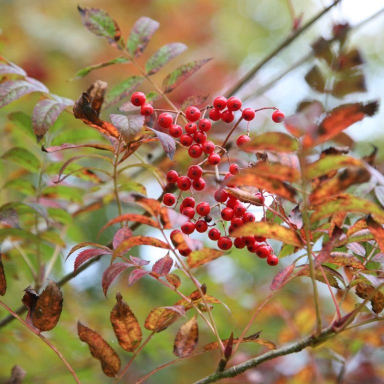 Garden jobs for autumn: Sorbus commixta