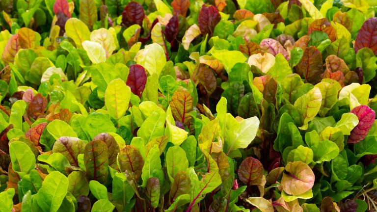 Vegetables to plant in August: mixed colors of chard growing in a garden